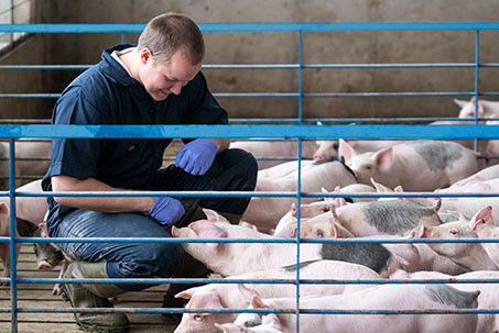 Respiratory disease in pigs is the most impactful health concern for swine producers
